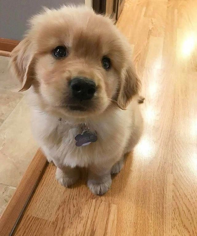 Such A Cute Fluffy Golden Retriever Puppy Goldenretrievers