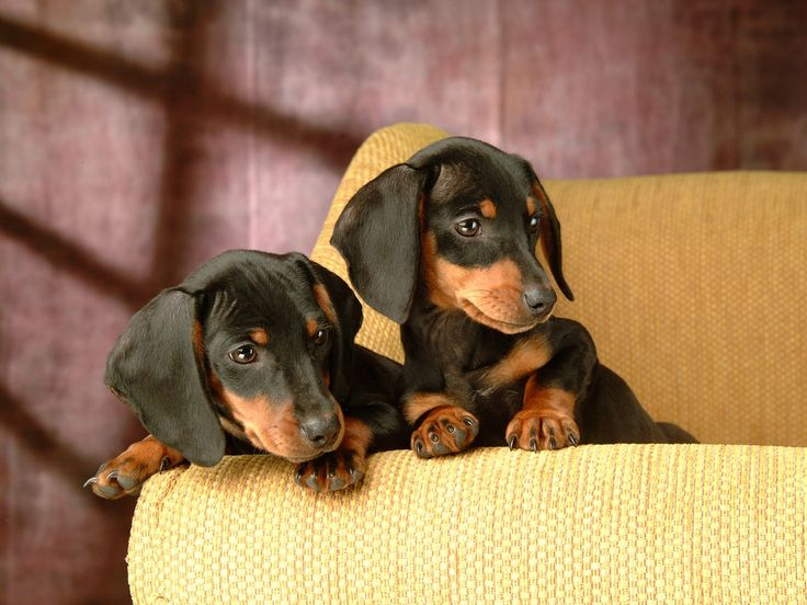 Miniature Dachshund Puppies Wallpapers