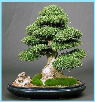 bonsai bakımı nasıl yapılır, bonsai bakımı, bonsai yetiştirme, bonsai bitkisi,