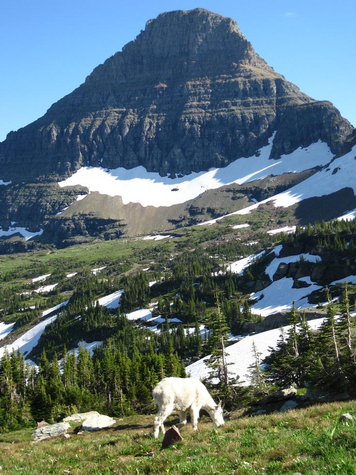 Mountain Goat  Glacier National Park  Montana  Usa