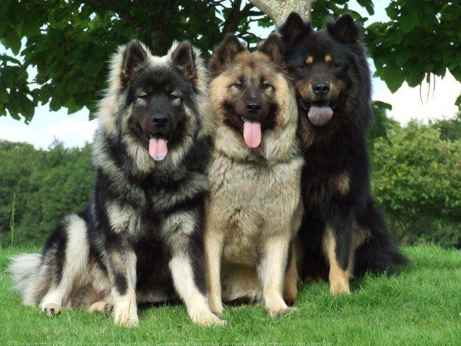Photo chien de race Eurasier, Les eurasiers du domaine de vult... - Eleveurs-Online.com