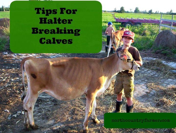Tips For Halter Breaking Calves