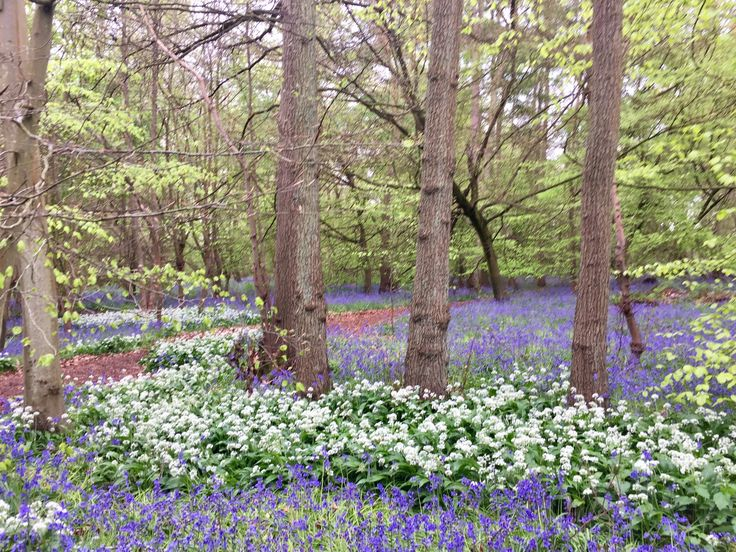Bluebells and wild garlic Ambarrow Woods, Finchampstead, Berkshire in May