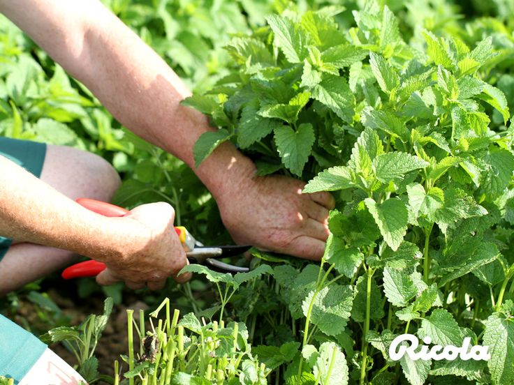 Ricola herb farmers harvest the herbs only when the valuable active ingredients are at their peak. #Herbs #Harvest #Ricola