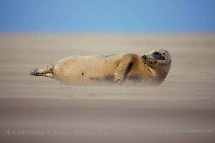 Grey Seal  (Halichoerus grypus)  koenfrantzen.com