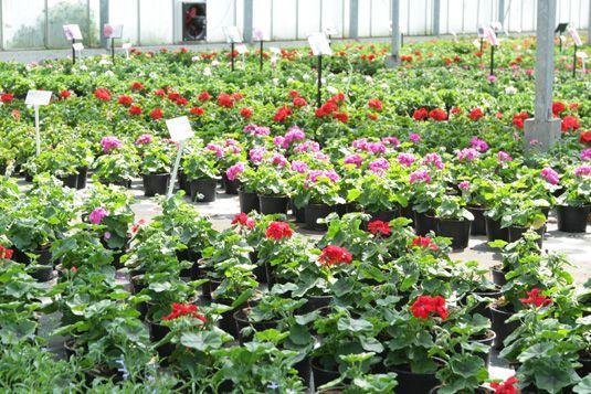 Bloeiers kwekerij Schrale-Wijman tuincentrum Slootdorp