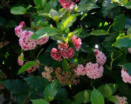 265 besten Flowering: Bushes & Shrubs Bilder auf Pinterest ...