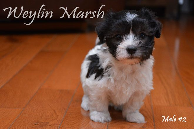 Our Canadian Kennel Club Ckc Registered Havanese Puppies