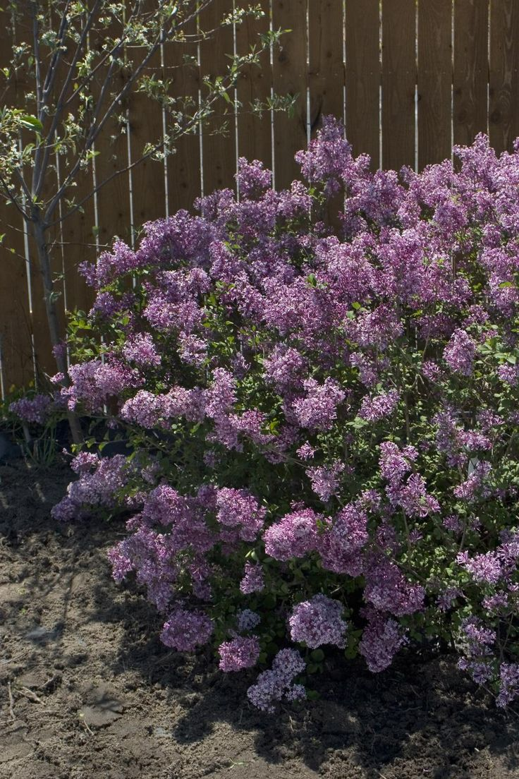 Bloomerang Lilac - the original reblooming lilac. Why have a lilac that only blooms once in spring when you can have that blooms then and in late summer, clear up until frost!
