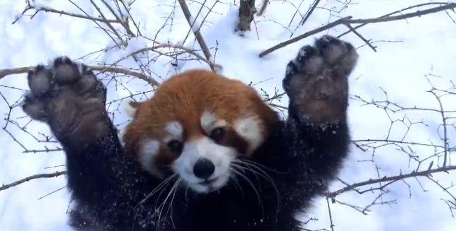 Stati Uniti. Al Cincinnati Zoo & Botanical Garden i panda rossi non sono per nulla stufi dell'abbondante neve. Guardate quanto si divertono nella neve, osservarli divertirsi è uno spasso! Fonte ABC News