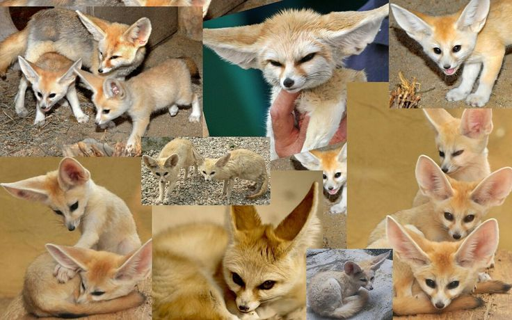 110 best fennec fox images on pinterest foxes fox and - Pagina da colorare fennec fox ...