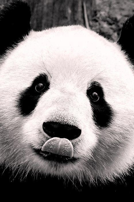 Panda                                                       …