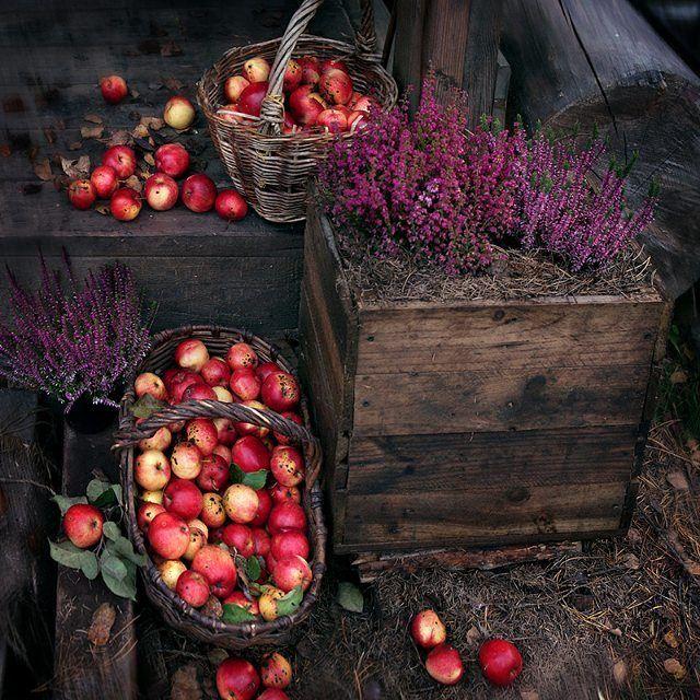 Плодотворной недели, друзья! Собираем яблоки и старые доски... Из досок получаются прекрасные ящики для вереска, а из яблок -янтарное варенье... #осень #мастерская_рыбы #вереск#яблоки #vscocam #vscorussia #дерево #wood #autumn