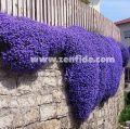 mavi aubrieta tohumu, mavi aubrieta tohumu satışı, mavi aubrieta fidesi | Zengarden Ev ve Bahçe