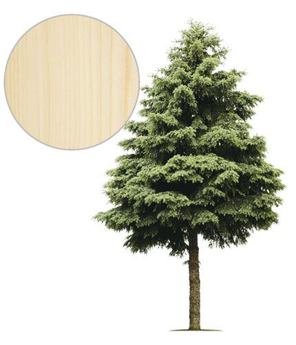swierk_drzewo