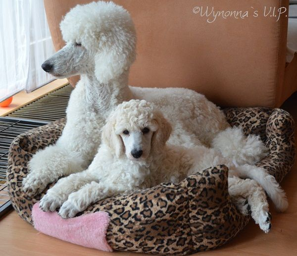 poodle essay List of poodle types along with links to information pages with info and pictures on each.
