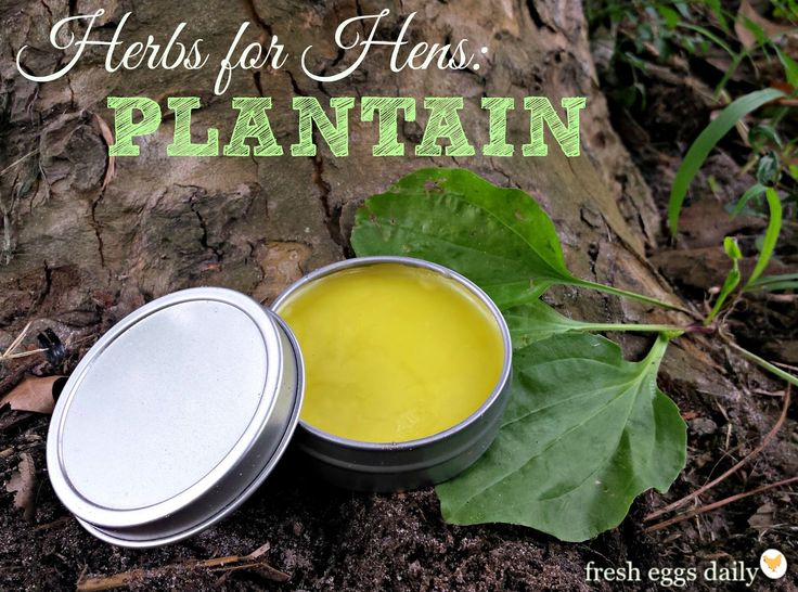 Herbs for Hens: Plantain Soothing Salve   Fresh Eggs Daily®