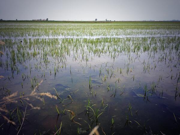 Risaia #Riso #Rice #ClusterExpo #Expo2015