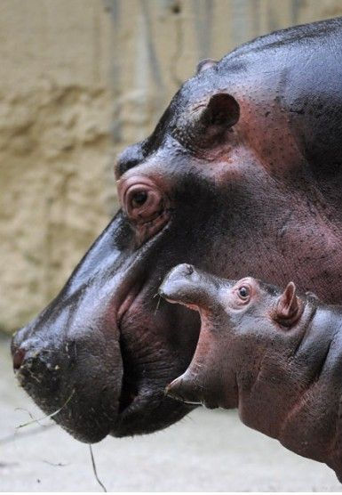 Mom, listen to me! Hippopotamus with baby. #LIFECommunity #Favorites From Pin Board #16