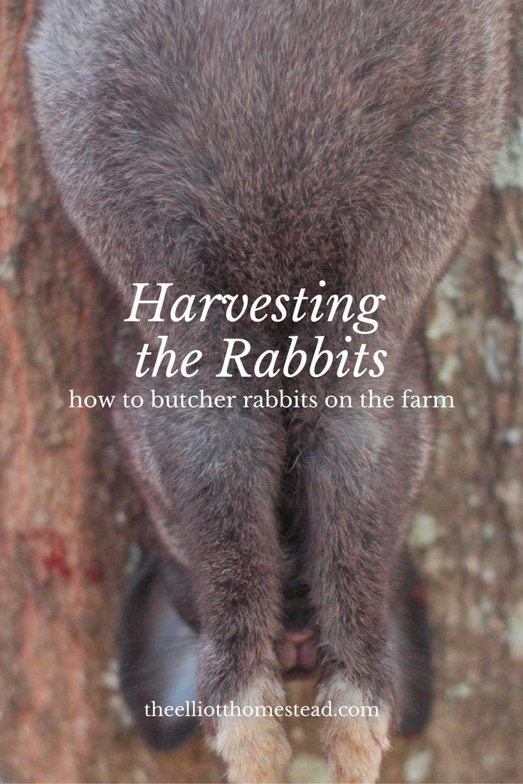 Harvesting the Rabbits