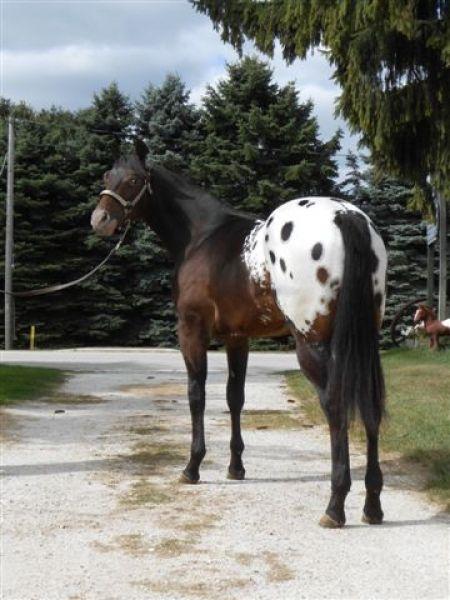 Appaloosa Horses for Sale | A Secret Country Boy , Appaloosa Stallion in Wisconsin