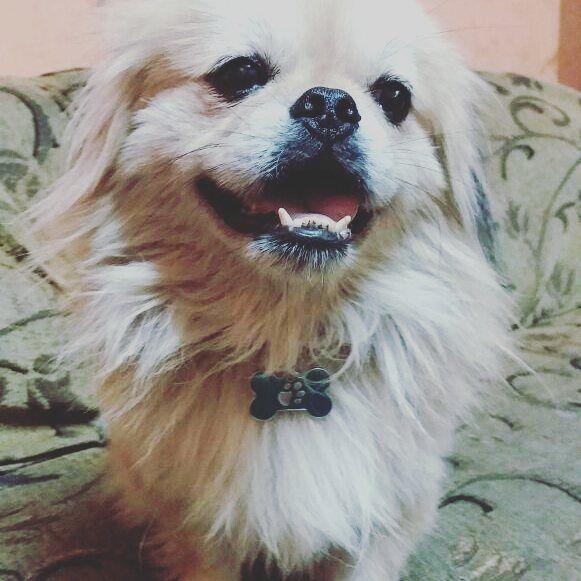 ♡Neymar♡  Modelandonos su nueva placa❤🐾 Gracias por confiar en nosotros y hacer que sus maacotas formen parte de nuestros #peluditosfelices.  #identificalosconcamascck  #petstagram #petslover #dog #pekinese #pekinesofinstagram #mypets #guayaquil #quito #cuenca #machala #manta #salinas #ecuador #montereylocals #salinaslocals- posted by ❤camas para mascotas🐕 https://www.instagram.com/camas_cck - See more of Salinas, CA at http://salinaslocals.com