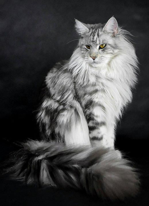 India bye Shedoros Maine Coon Cattery