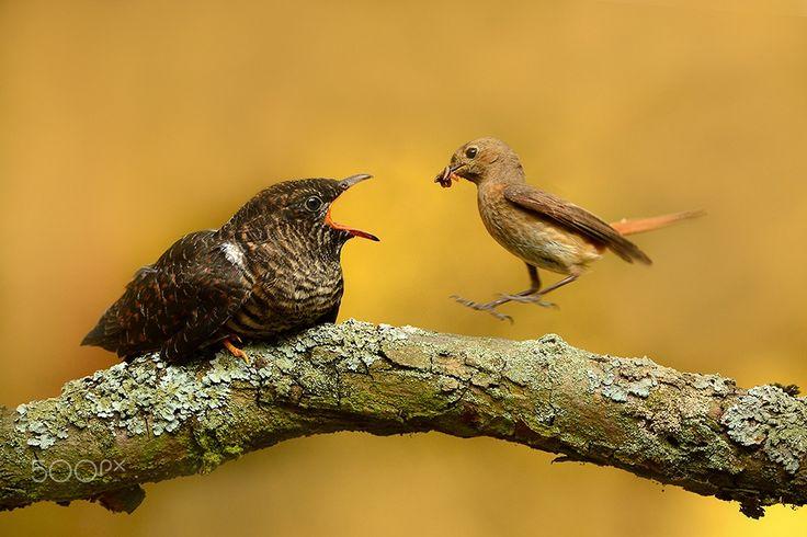 cuckoo Cuculus canorus - http://www.wildlifenature.eu/Galeria_c-4
