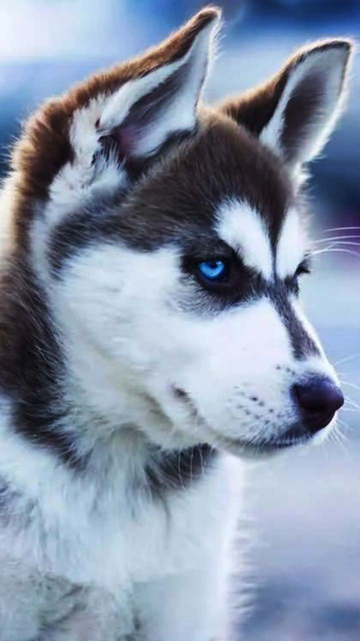 Are You As Sharp As Me Husky Love Puppy Blue Eyes Cute Little Puppies Husky Puppies