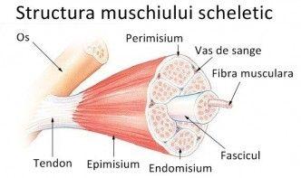 Structura unui mușchi scheletic
