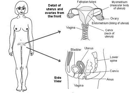 Best 25+ Female reproductive anatomy ideas on Pinterest