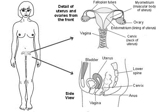 17 best ideas about female reproductive system anatomy on pinterest