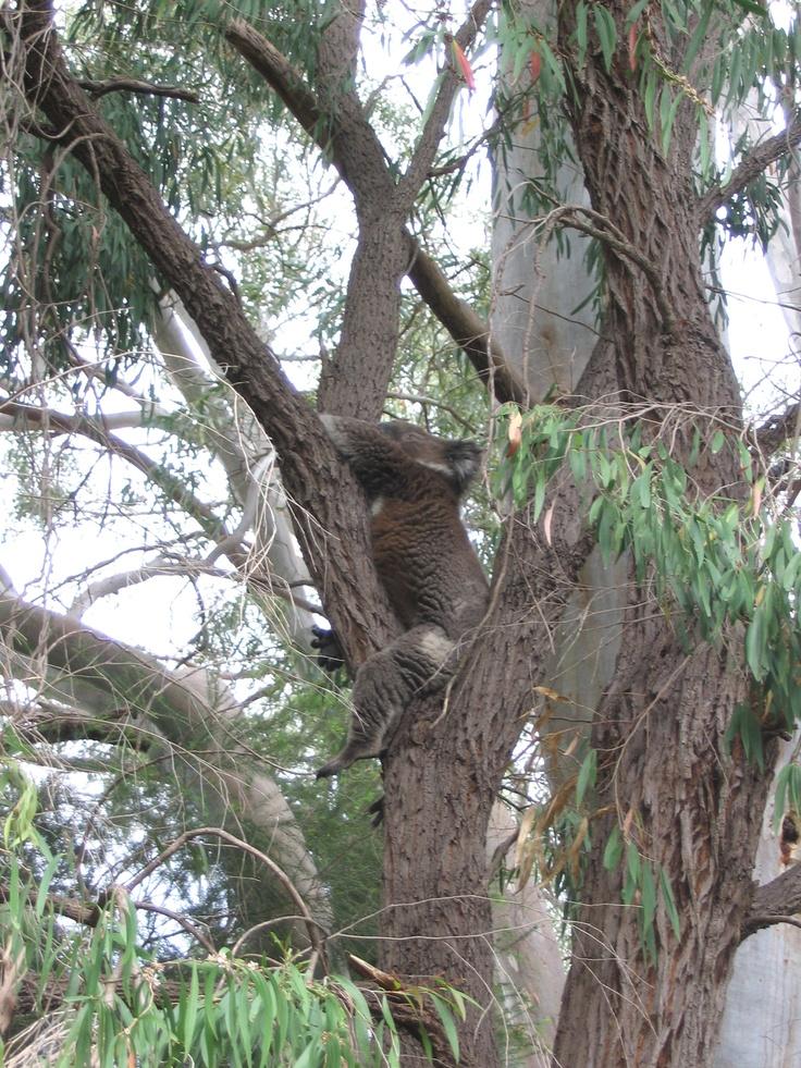 Koala having a nap in our back yard, Adelaide, Australia