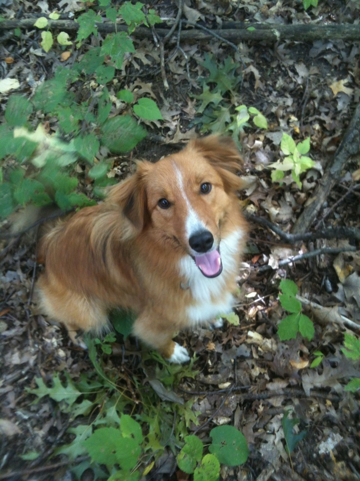 Sheltie Aussie Mix Pictures Image | Dog Breeds Picture Mini Australian Shepherd Mix