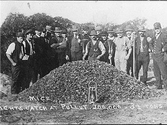 Australian mouse plague, states these 200,000 mice (3½ tons) were caught in one night at Pullut in Victoria in 1917.