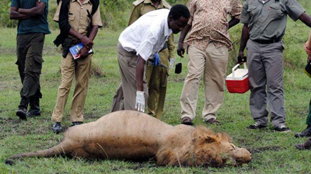 Mueren Tres Leones Envenenados En El Parque Keniano Del Masai Mara
