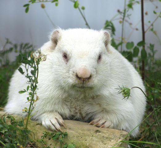 Canada's famous albino groundhog named Wiarton Willy from the town of Wiarton, Ontario.