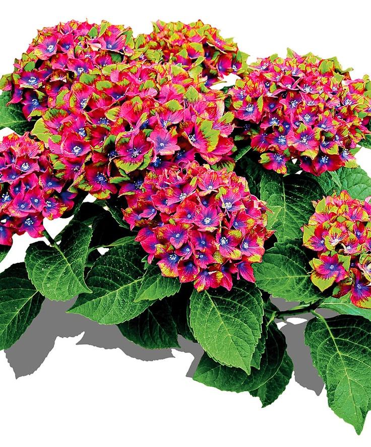 Ortensia tricolore - ricche e colorate fioriture per tutta l'estate! #giardinaggio #piante