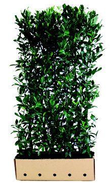 Hainbuche - Carpinus betulus Heckenelemente können Sie in unserem Shop einfach online kaufen . Bei Fragen zum Fertighecken Sortiment freuen wir uns über Ihre Anfrage per Email oder über Ihren Anruf und beraten Sie gerne.