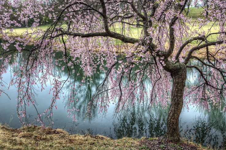 weeping cherry tree | weeping cherry blossom tree in Meadowlark Botanical Gardens in ...
