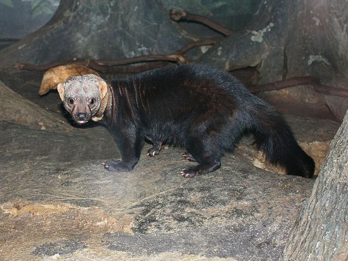 Caribbean Animals: The Tayra Is A Relative Of The Badger Found In The Forests