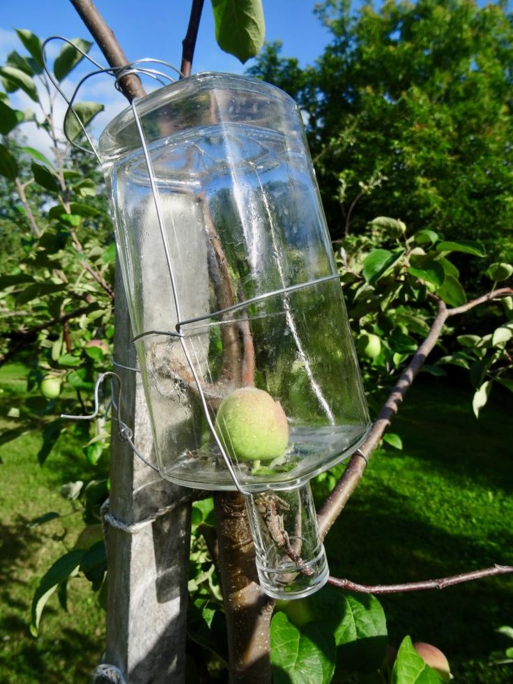 Apple growing in a bottle at Poméloi Orchard