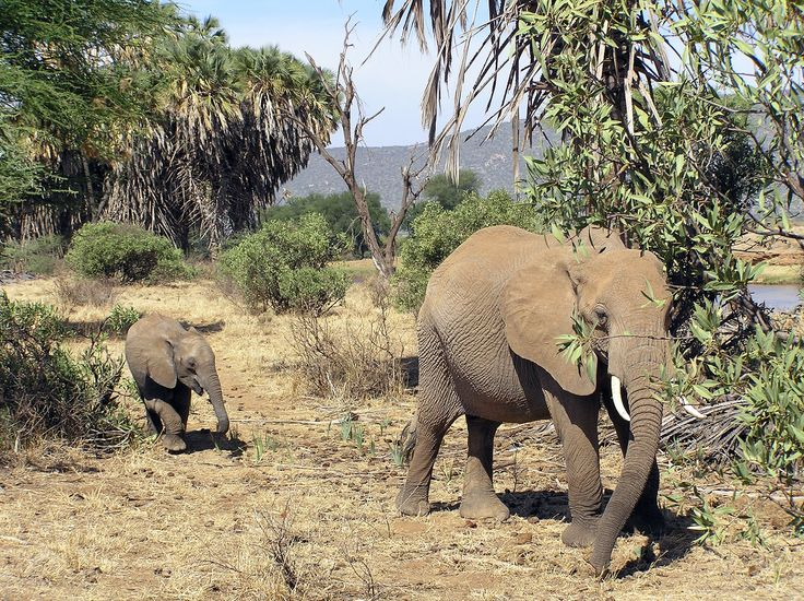 Elefant med unge / Kenya.