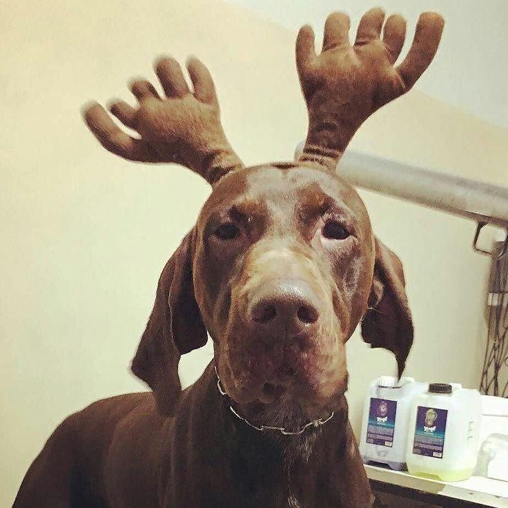 Renna o cane?   Foto di: @anna_dogs  #BauSocial  Riccardo  #cane #renna#cane#canedinatale #cheeseplease #bracco#braccotedesco #braccotedescokurzhaar #kurzhaar #kurzhaarofinstagram #browndog #brown#ilmioamicopeloso #riccardo #grooming #groomingday #doggroomer #doggroomers #doggroomersofinstagram #toelettatura#dispetto#lagioia#lafelicità #pazienza