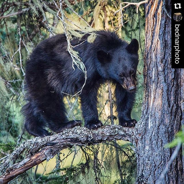 #Repost @bednarphoto ・・・Great first day on the job with @whistlerphotosafaris . It is going to be a great summer! #bear
