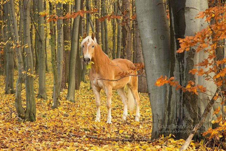 Haflinger in the autumn forest - Haflinger in the autumn forest