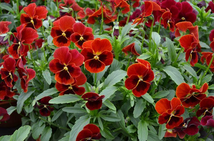 Røde hagefioler skifter farge utover sommeren.