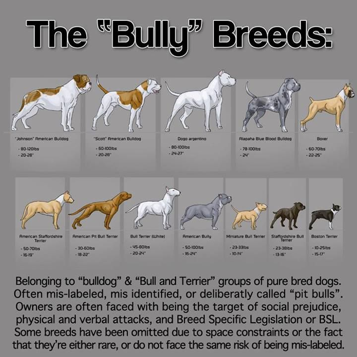 DZ's Adventures: History of Bully Breeds - American Pit Bull Terrier