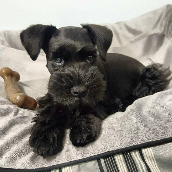 "4,075 Likes, 46 Comments - Schnauzer World!® (@schnauzerworld) on Instagram: ""Best Schnauzer & Hoodies EVER in @schnauzerworld profile❗ Satisfaction guarantied❗ Worldwide…"""