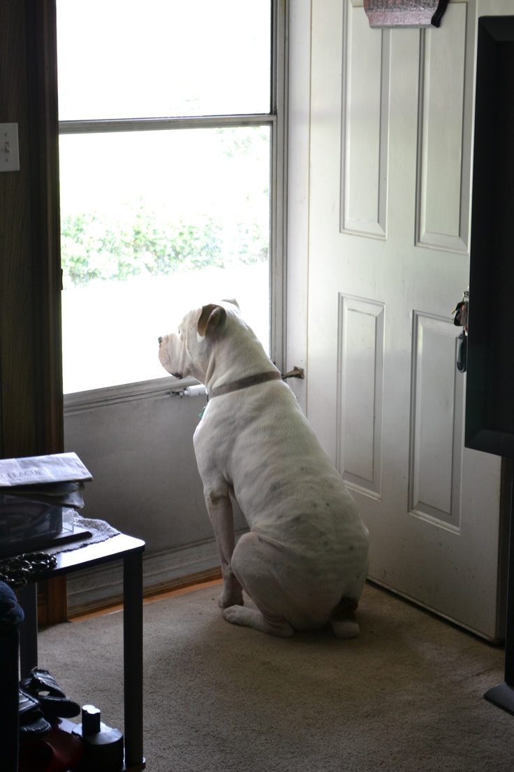 Home security! American Bulldogs ROCK!!!